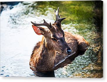 Lovely Time. Male Deer In The Pampelmousse Botanical Garden. Mauritius Canvas Print by Jenny Rainbow
