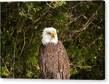 Low Angle View Of A Bald Eagle Canvas Print