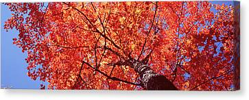 Low Angle View Of A Maple Tree, Acadia Canvas Print