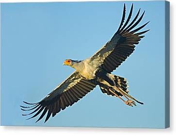 Low Angle View Of A Secretary Bird Canvas Print by Panoramic Images