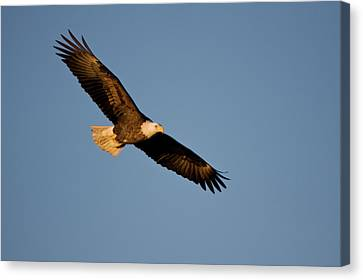 Low Angle View Of Bald Eagle Haliaeetus Canvas Print by Panoramic Images