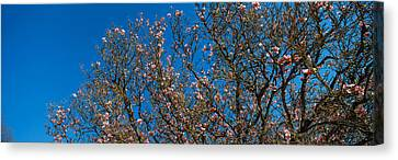 Low Angle View Of Cherry Trees Canvas Print by Panoramic Images