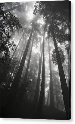 Low Angle View Of Tree Tops In The Fog Canvas Print