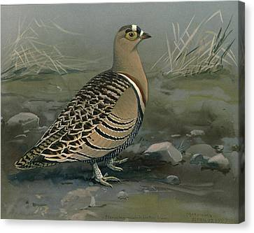 Lowe's Sand Grouse Canvas Print by Rob Dreyer