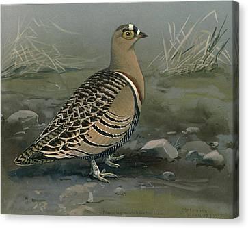 Lowe's Sand Grouse Canvas Print