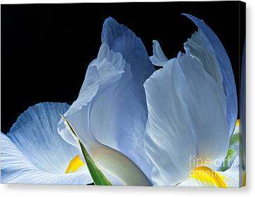 Lt Blue Iris 2013 Canvas Print