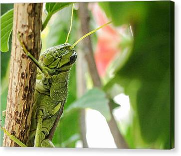 Canvas Print featuring the photograph Lubber Grasshopper by TK Goforth