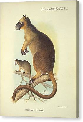 Lumholtz's Tree-kangaroo, 20th Century Canvas Print by Science Photo Library