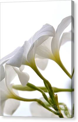 Canvas Print featuring the photograph Luminous Plumeria - White by Darla Wood