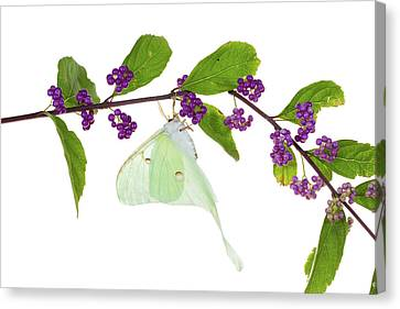 Luna Moth Actias Luna Perching On Blue Canvas Print by Panoramic Images