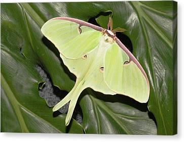 Luna Moth (actias Luna Canvas Print by Piperanne Worcester