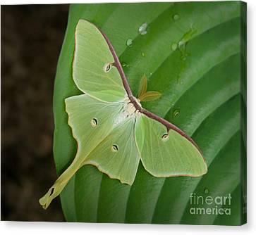 Luna Moth Canvas Print by Alana Ranney