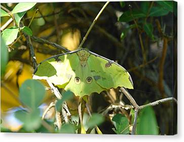 Luna Moth In The Sun Canvas Print by Jeff Swan