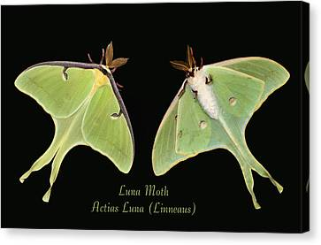 Luna Moth Canvas Print by Kristin Elmquist