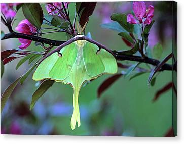 Luna Moth On Cherry Tree In Spring Canvas Print by Jaynes Gallery