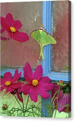 Luna Moth On Old Window With Cosmos Canvas Print by Jaynes Gallery
