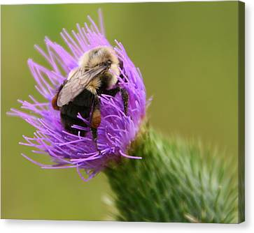 Lunching Atop A Thistle Canvas Print by Laurel Talabere