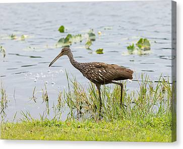 Lunching Lurching Limpkin Canvas Print by John M Bailey