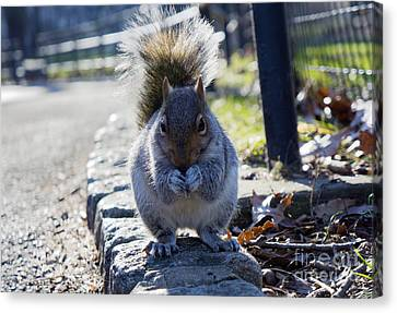Canvas Print featuring the photograph Lunchtime For Central Park Squirrel by Rafael Quirindongo