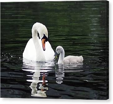 Lunchtime For Swan And Cygnet Canvas Print by Rona Black