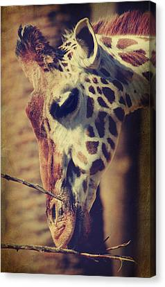 Lunchtime Twigs Canvas Print by Laurie Search