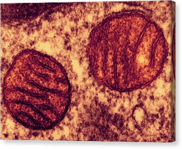 Lung Mitochondria Canvas Print by Ami Images/dartmouth College - Louisa Howard