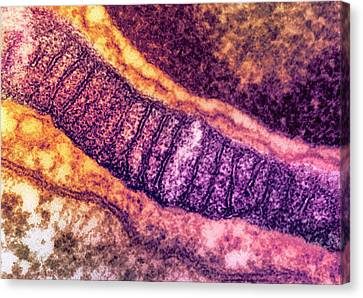 Lung Mitochondrion Canvas Print by Ami Images