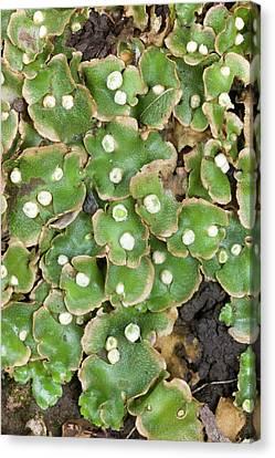Lunularia Cruciata With Archegonia Canvas Print by Dr Jeremy Burgess