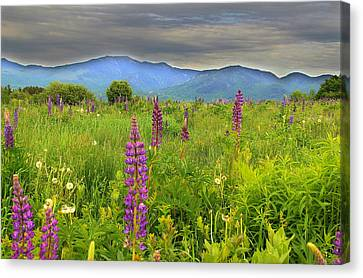 Lupine Breeze  Canvas Print by Andrea Galiffi