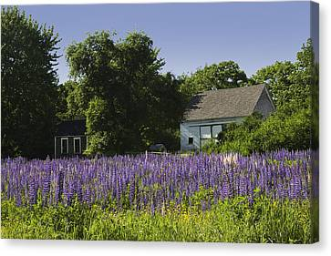 Maine Barns Canvas Print - Lupine Flowers Near Round Pond Maine by Keith Webber Jr