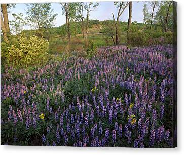 Lupine Indiana Dunes National Lakeshore Canvas Print