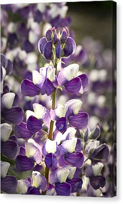 Canvas Print featuring the photograph Lupine Wildflowers by Sonya Lang