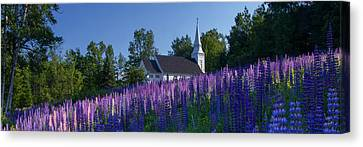 Lupines At St. Matthews In Sugar Hill Canvas Print