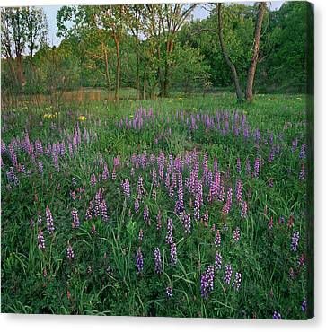 Lupines At West Beach, Indiana Dunes Canvas Print