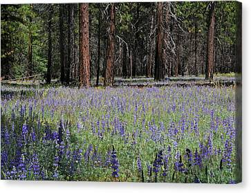 Lupines In Yosemite Valley Canvas Print by Lynn Bauer