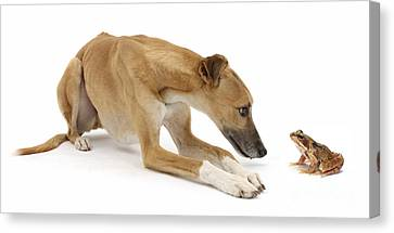 Lurcher Dog And Common Frog Canvas Print by Mark Taylor