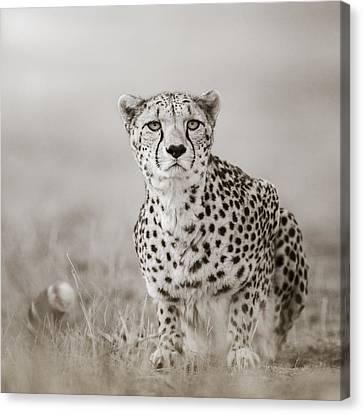 Lurking Cheetah Canvas Print