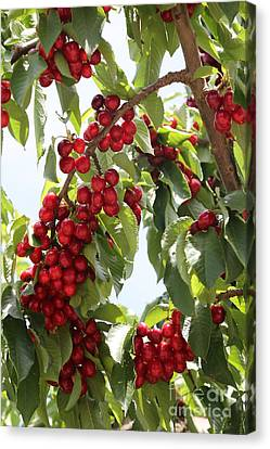 Grocery Store Canvas Print - Luscious Cherries by Carol Groenen