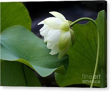 Lotus Leaves Canvas Print - Luscious Lotus by Sabrina L Ryan