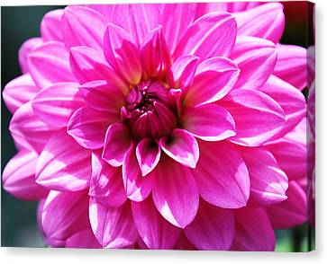 Canvas Print featuring the photograph Lush Pink Dahlia by Judy Palkimas