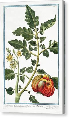 Cesare Canvas Print - Lycopersicon Galeni by Rare Book Division/new York Public Library
