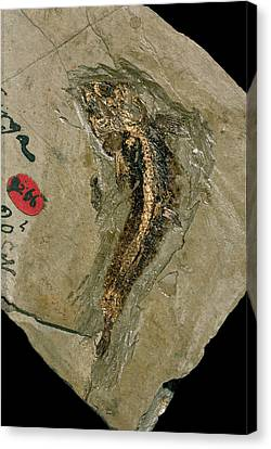 Lycoptera Bony Fish Fossil Canvas Print by Natural History Museum, London