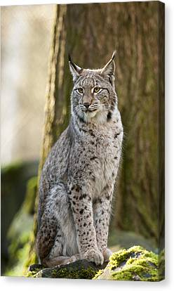 Lynx Canvas Print by Andy-Kim Moeller