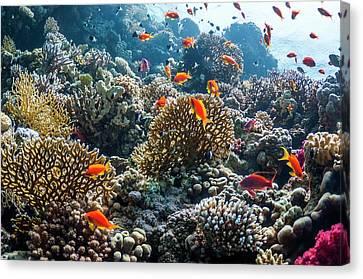 Lyretail Anthias On A Reef Canvas Print