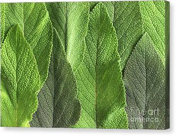 M7500790 - Sage Leaves Canvas Print by Spl