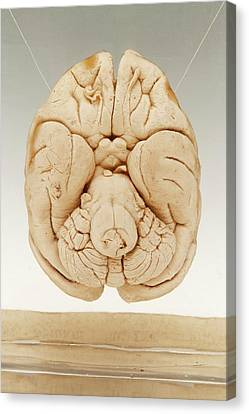 Macaque Brain Canvas Print by Ucl, Grant Museum Of Zoology