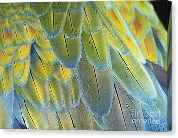 Blue And Gold Macaw Canvas Print - Macaw Feathers by George D Lepp
