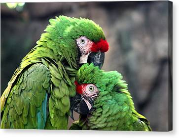 Macaws In Love Canvas Print by Diane Merkle