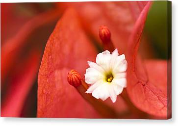 Macro Bougainvillea Bloom 1 Canvas Print by Leigh Anne Meeks