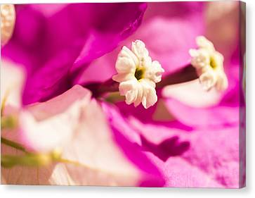 Macro Bougainvillea Bloom 2 Canvas Print